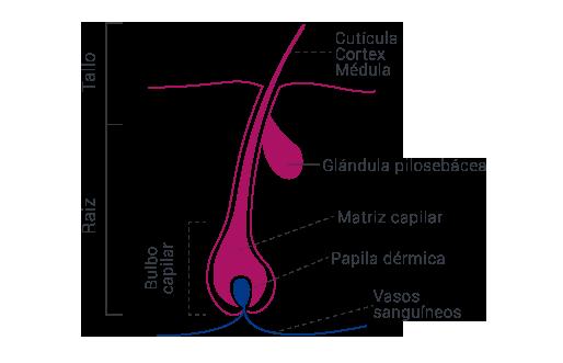 anatomía del vello
